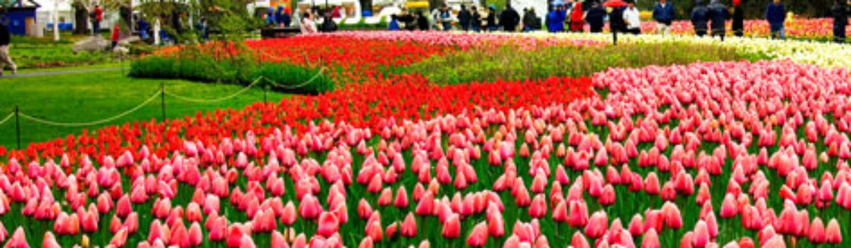 Gearing up for the Tulip Festival In Woodburn Oregon